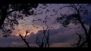 شکار خفاشها توسط عقاب
