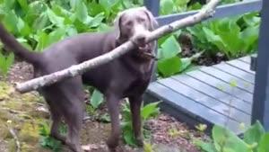قضیه جالب سگ و چوب