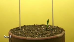 تایم لپس رشد گیاه نخود