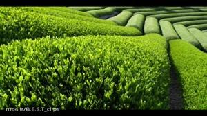 خواص، فواید و مضرات چای سبز