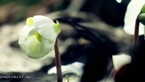 لحظه رشد گلها