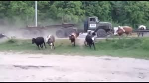 زیر گرفتن گاو ها با تریلی - حتما ببینید D: