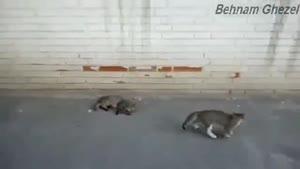 دعوا و بازی گربه های پررو