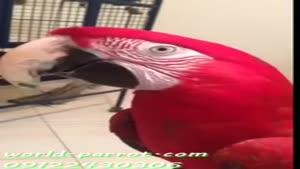 طوطی ماکائوآرا بال سبز قرمز سخنگو