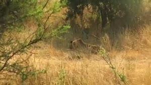 کشتن شیر نر جوان توسط ۳ شیر نر بالغ