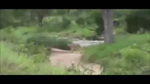 شکار گوزن توسط شیر ماده