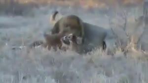 نبرد مرگبار شیر های نر
