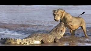 حملات گوناگون شیرها برای شکار
