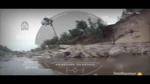 شکارهای کروکودیل در حین رد شدن از آب