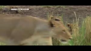 یک شکار موفق از شیرها با جزئیات کامل