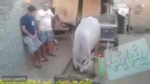کی گفته که گاوها خنگن!