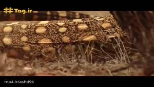 تایپان؛ سمیترین مار خشکی بومی استرالیا