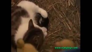 زندگی کردن گربه با جوجه اردکها