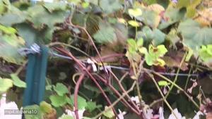 آموزش باغبانى ( نحويه قلمه درخت انگور در پائيز)