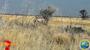 حمله کرگدن خشمگین به یک اس - یو - وی گردشگری در حیات وحش افریقا
