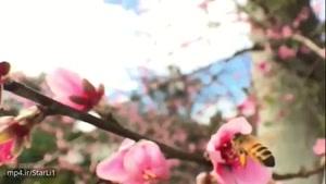 زنبور عسل در حین گردآوری شهد گل
