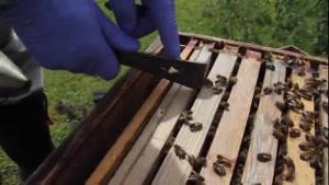 آموزش حرفه ای زنبور داری ۰۲۱۲۸۴۲۳۱۱۸-۰۹۱۳۰۹۱۹۴۴۸ - wWw.۱۱۸File.Com