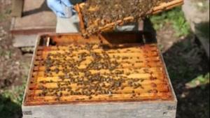 آموزش گام به گام پرورش زنبورعسل. ۰۲۱۲۸۴۲۳۱۱۸-۰۹۱۳۰۹۱۹۴۴۸-wWw.۱۱۸File.Com
