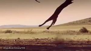 شکار بسیار جالب پرنده توسط گربه وحشی