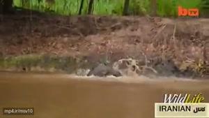 شکار تمساح توسط ببر،،نبینی نصف مرت فناست