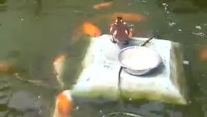 غذا دادن پرنده به ماهی ها