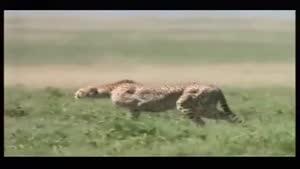 سرعت پلنگ هنگام شکار کردن