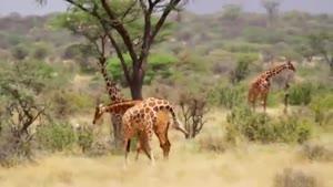 حیات وحش زیبای آفریقا