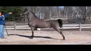 اسب های درجه یک و خوش اندام