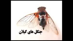 زنجره- cicada