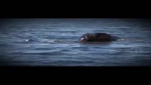 حمله کروکدیل به فیل