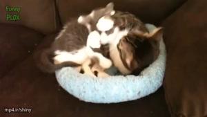 ابراز احساسات بین گربه ها