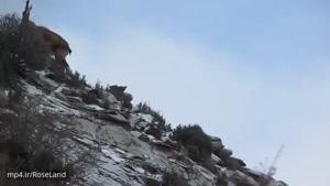 بزهای زیبا در کوهستان