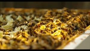 زنبور عسل - با کیفیت ۴k