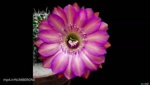 شکوفا شدن گل های گیاه کاکتوس | شگفتی طبیعت