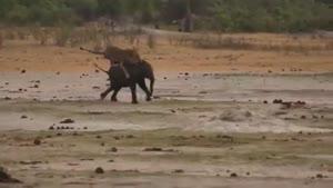 جدال تماشایی شیر نر و بچه فیل