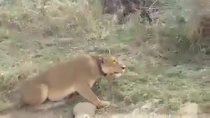 نبرد شیر با گورخر!