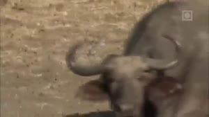 حمله گله شیر به بوفالو