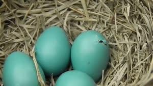 خروج جوجه از تخم. . .