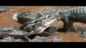 حمله به تمساح کوچولو