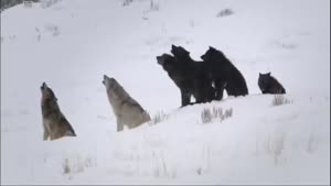 گرگها