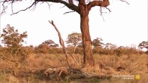 شکار جغد توسط پلنگ