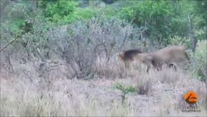 شکار بوفالو