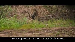 جگوار با تمساح بزرگ کیمن