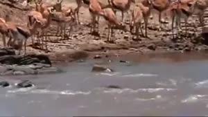 شکار وحشتناک آهو