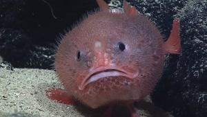 گونه ای جدید از ماهی ها به نام sea toad