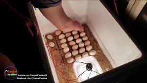 نتیجه تبدیل تخم های نطفه دار به جوجه کشی در خانه
