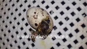 ویدیو جالب از بیرون آمدن بلدرچین از تخم
