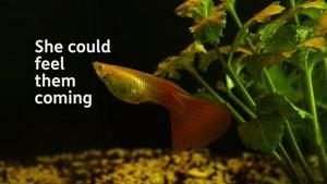 لحظه دیدنی تخم ریزی ماهی گوپی بسیار زیباست