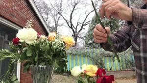 تکثیر گل رزهایی که هدیه گرفته اید ببا روش قلمه زدن