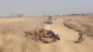 ناکام ماندن شیر ها از شکار بوفالو
